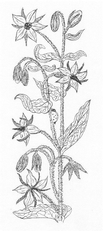 Oise.Avec ses petites fleurs bleues en forme d'étoile, renversées vers le sol, et ses feuilles aux poils raides et piquants, la bourrache (Borrago officinalis), d'une hauteur d'environ 30 centimètres, est du plus bel effet dans un potager campagnard. Elle se cultive facilement, se multipliant d'elle-même, sans intervention du jardinier. Un dicton prétend que : « Là où elle s'est installée, on ne la fait plus partir. »